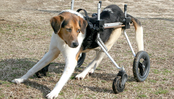 Houstin, a hound dog owned by Patricia Harrell of Margarettsville, shows off his new mode of travel - a K-9 wheelchair. Staff Photo by Amanda VanDerBroek