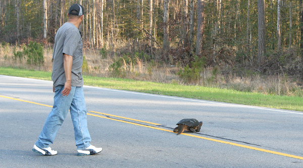 A good Samaritan watches for traffic while a large snapping turtle cross a busy stretch of NC 11 on Wednesday afternoon near Tom Browne Road. Staff Photo by Amanda VanDerBroek