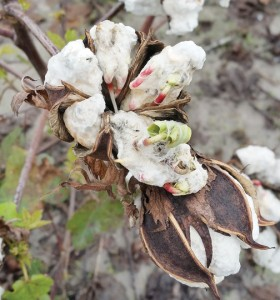 The recent extended period of wet weather across the Roanoke-Chowan area has led to seed sprouting inside cotton lint in many fields. Photo by Richard Rhodes